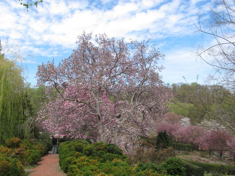 Springtime cherry blossoms in bloom at Dumbarton Oaks in Georgetown - Where to photograph the cherry blossoms in Washington, DC