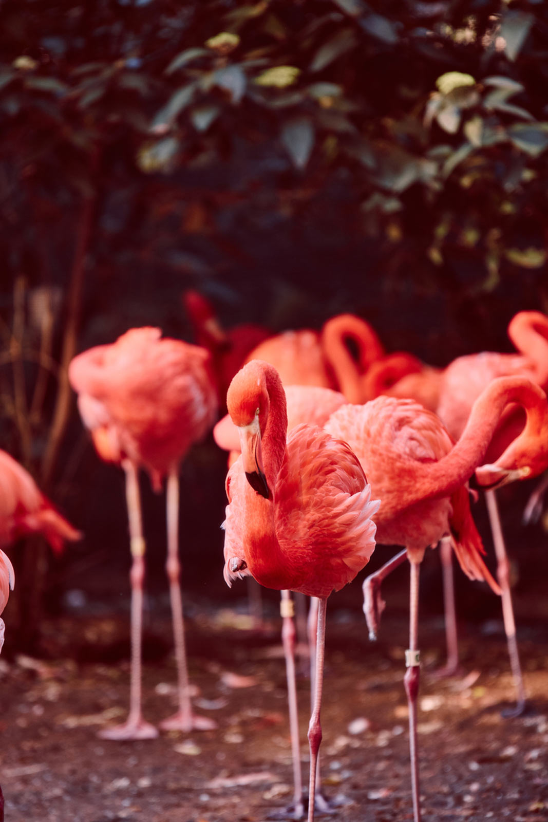 Flamingos at the Smithsonian National Zoo - Things to Do in Washington, DC