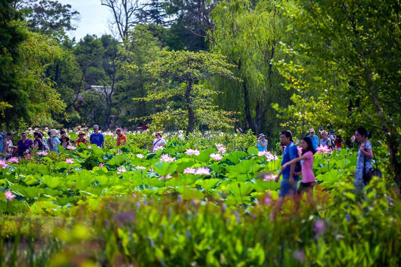 Lotus and Water Lily Festival at the Kenilworth Aquatic Gardens - Summer Events in Washington, DC