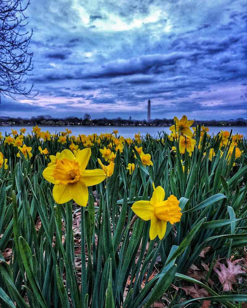 @rollerbladerdc - Flowers across the Potomac River at Lady Bird Johnson Memorial Park in Arlington, Virginia