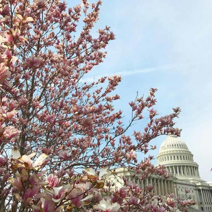 @abbery - Spring flowers blooming in front of the United States Capitol - Spring in Washington, DC