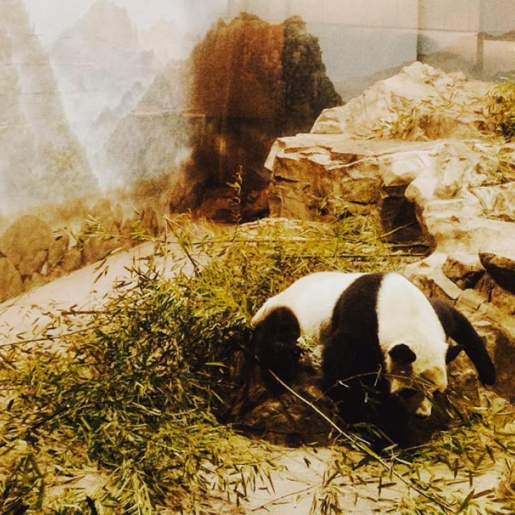 @dcwithkid - Panda en el Zoológico Nacional Smithsonian en Woodley Park - Qué hacer en Washington, DC