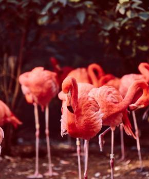 Flamingos im Smithsonian's National Zoo - Leitfaden für den Zoo in Washington, DC