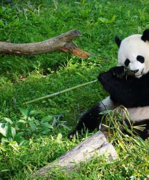 Smithsonian National Zoo Giant Panda - Washington, DC